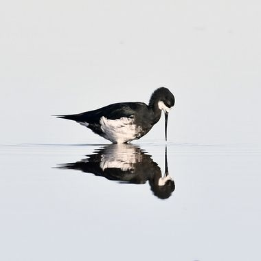 Hybrid Black Stilt reflection