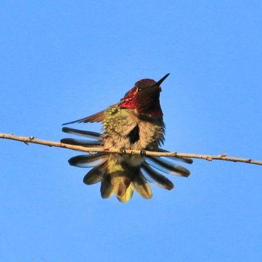 Hummingbird IMG_6830