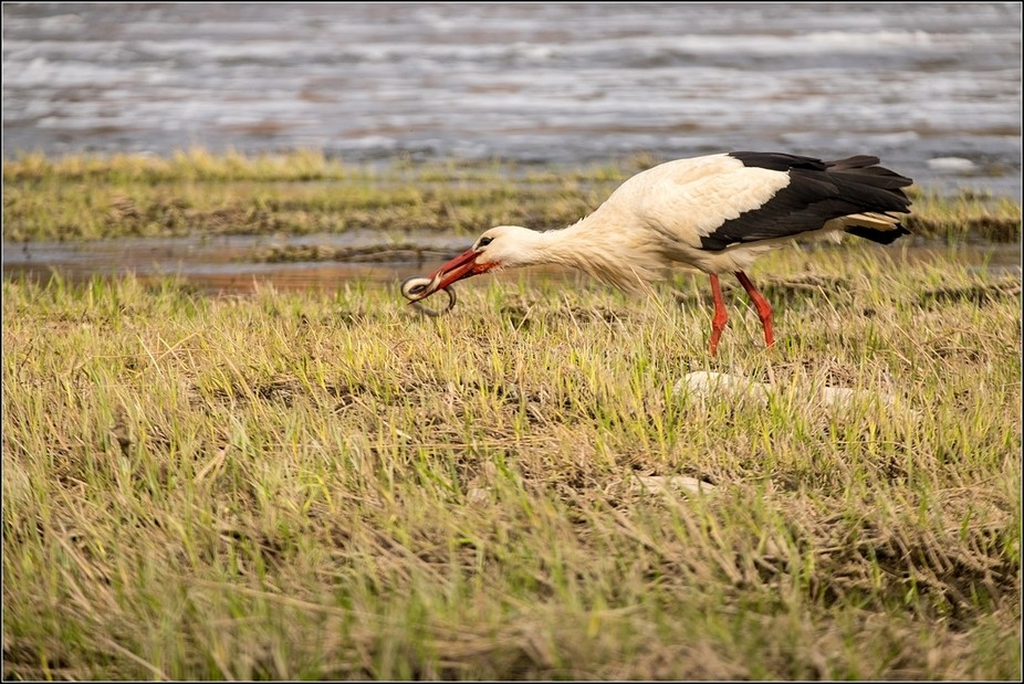 Stork feeding