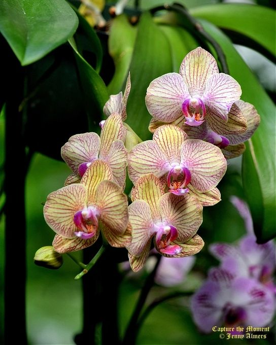 Beautiful Striped Petal Orchids
