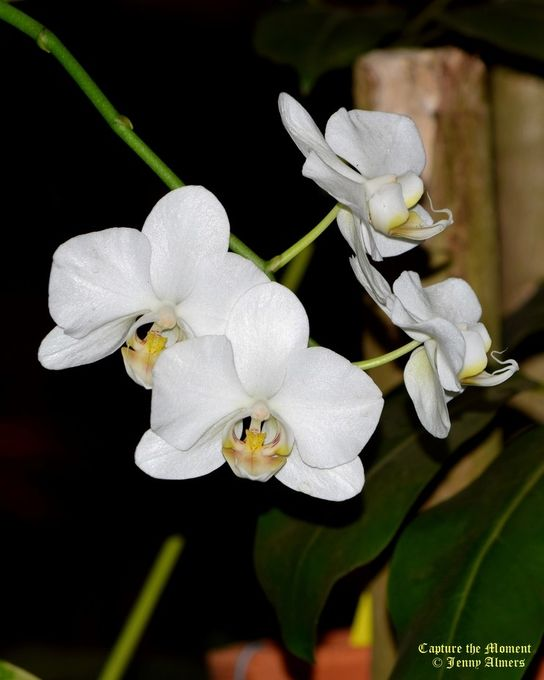 White Orchids Simplicity