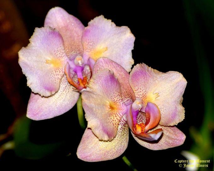 Multi-Color Orchids