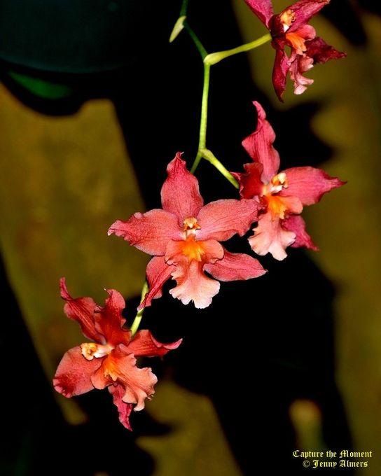 Reddish-Orange Mini-Orchids