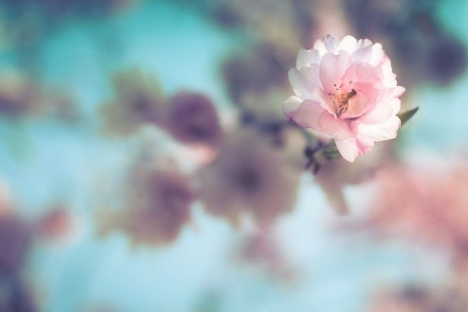Flowering Tree by jeanettefellows - Pink Photo Contest