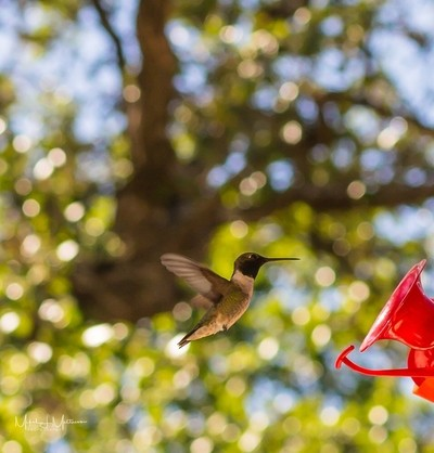 This is one of the hummingbirds that is in our back yard.