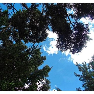 Looking Up Through the Pine Tree