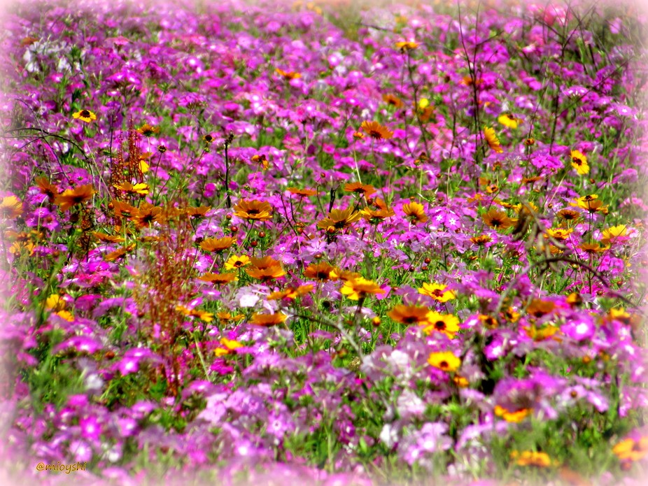 Wild flowers galore along the backroads of north Florida