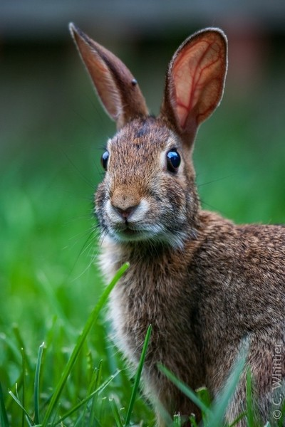 Eastern Cottontail....with tick