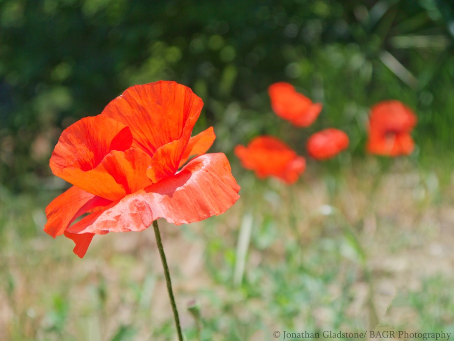 Poppies at Ponte Della Grazie, Fiume Lamone (Lamone River) Faenza- where units of 2nd New Zeala...