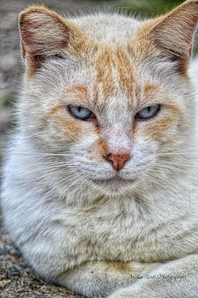 Theeee Cat of Gibson Ranch...