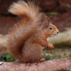 A Red squirrel taken at the weekend on a trip with 3 friends.