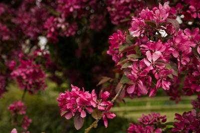 cherry blossom-0579