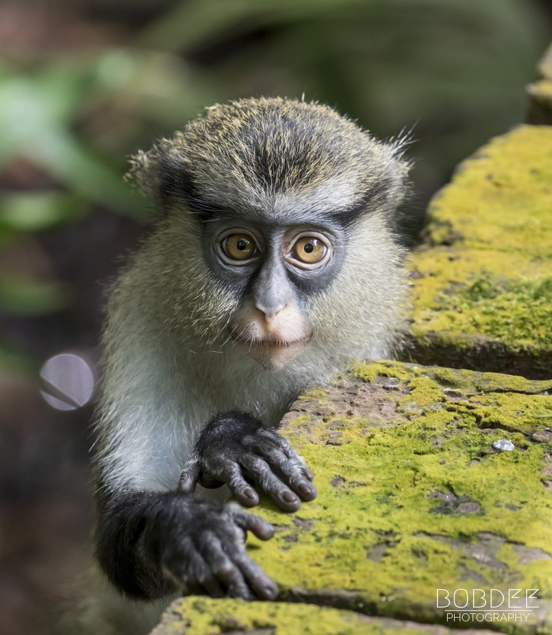 A Juvenile Mona Monkey by bobdee - Monkeys And Apes Photo Contest