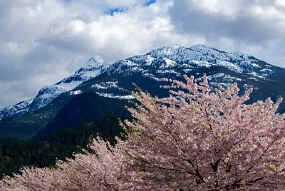 Snow capped mountains and cherry blossoms