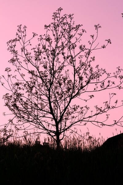 Tree silhouette in a pink sunset
