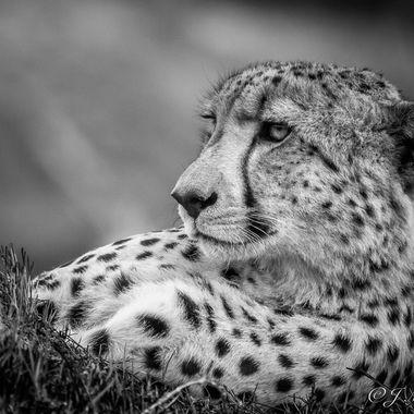 Cheetah B&W