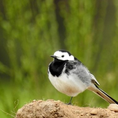 A WEE WATERY WAGTAIL ...... sittin Pretty