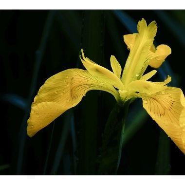 Yellow Iris 3 copy