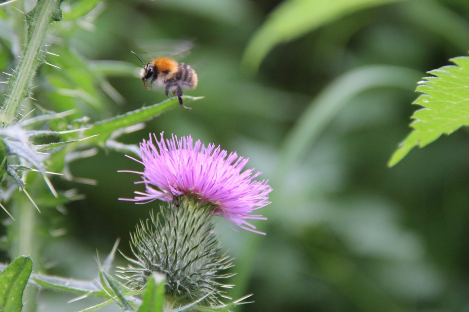 big thistles attract big bumblebees. I had only to wait a bit.