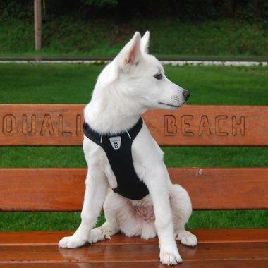 Mowgy-bear on the boardwalk Qualicum Beach 17 April 2017