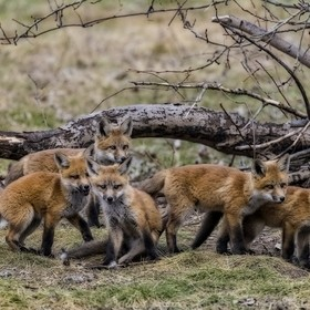 Fox kits, Barrie, Ontario, Canada