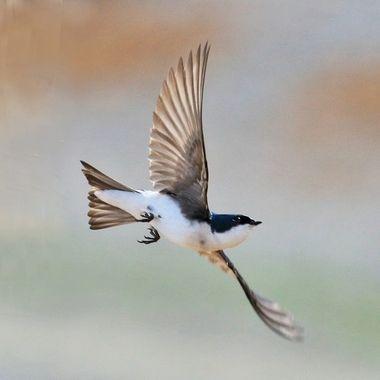 Tree Swallow IMG_7057