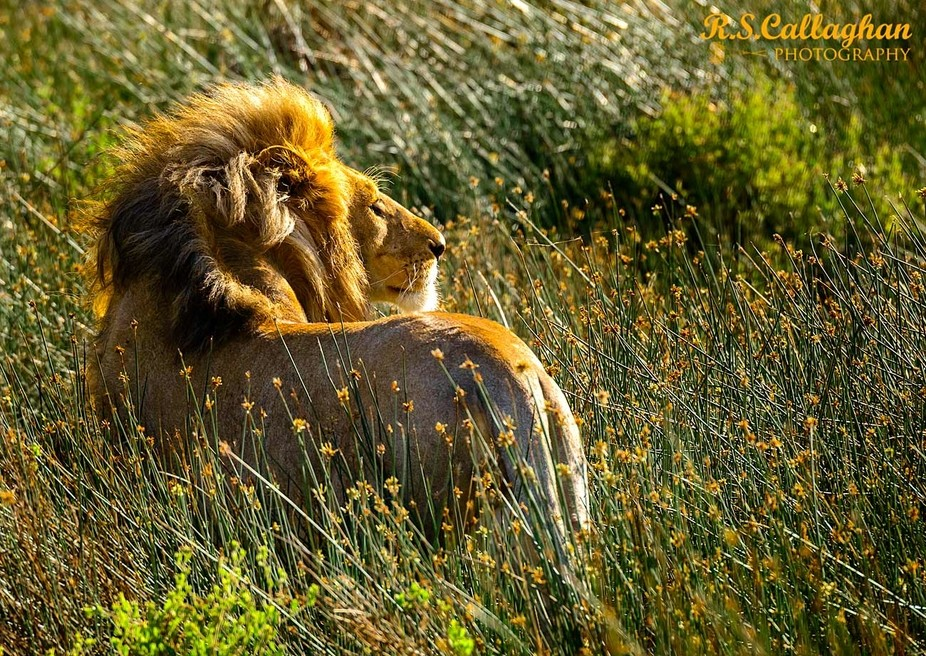 A male lion looks into the rising sun.