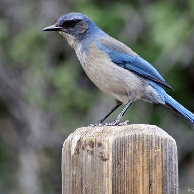 Blue bird Garden of the Gods Colorado
