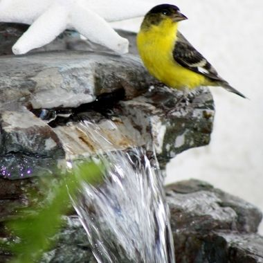 Finch visiting my water fountain on patio