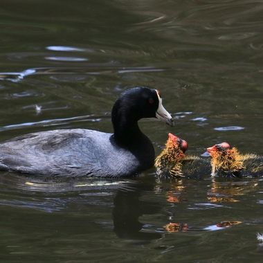 American coot with babies IMG_7336