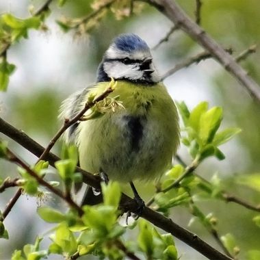 Caught sight of this adorable wee blue-tit  singing his heart out