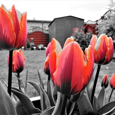 Lovely variety of tulips with unusual markings emphasised with splash of red !