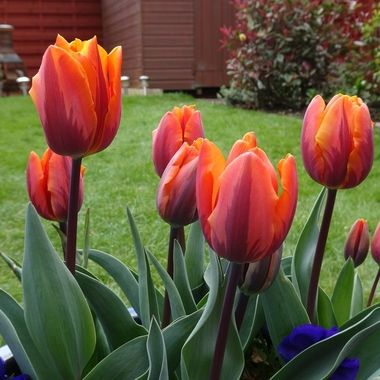 At long last my tulips are in full bloom loving Unusual Striped variety