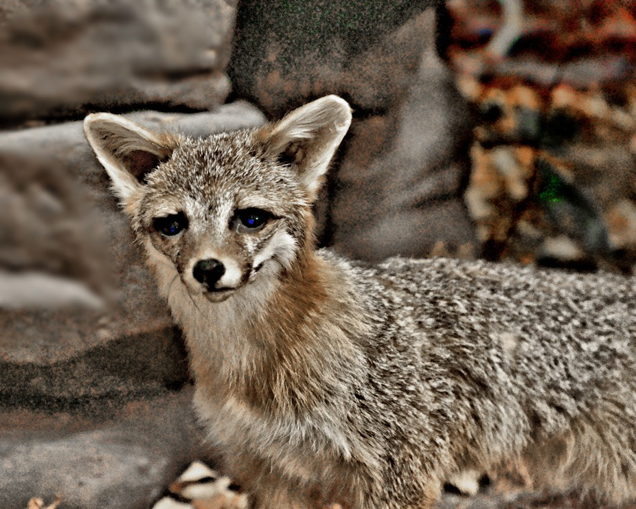 These native fox are disappearing because the colonists did not enjoy hunting them as much as the...