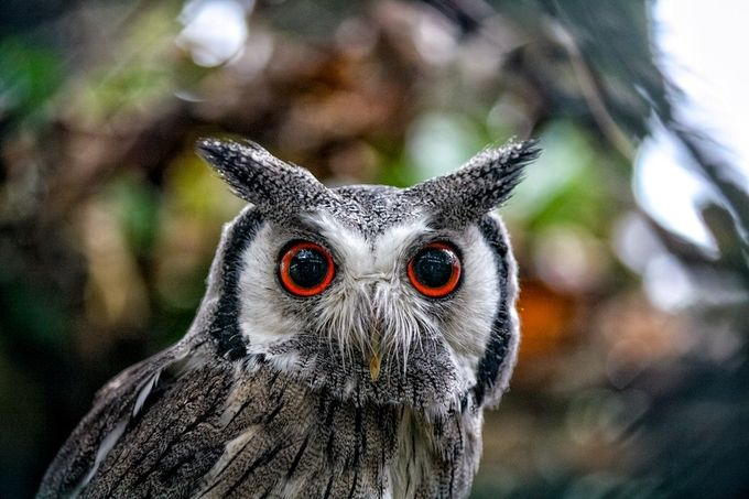 The Intense Eyes of the Northern White-Faced Owl by jamesadey - Beautiful Owls Photo Contest