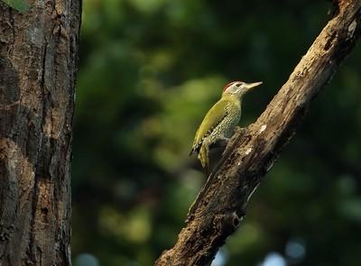 Streak-throated woodpecker...