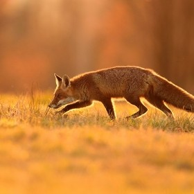 Red fox (Vulpes vulpes) - the fox traces its prey