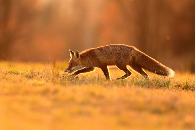 Sniffing fox by EuroBen - Orange Is The Color Photo Contest