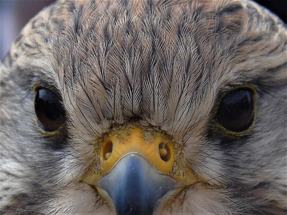 Kestrel Closeup