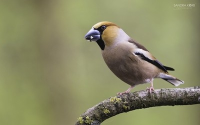 Snacking Hawfinch