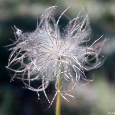 Dandelion seed pod in summer
