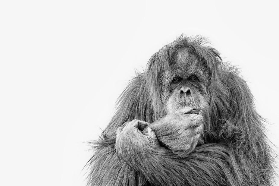 Orangutan ponders life in captivity
