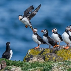 Atlantic puffins composition
