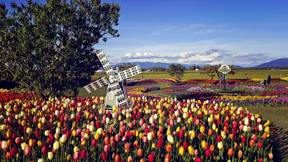 This is one of many photos I recently took of the Tulip Festival in Burlington Washington April 2...