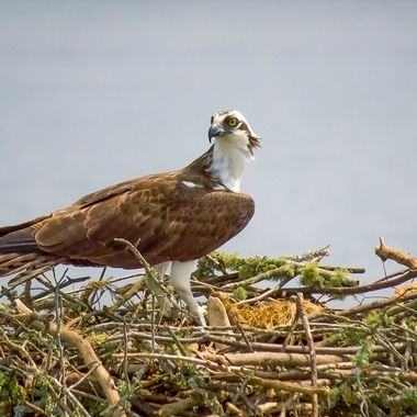 Osprey protecting his nest