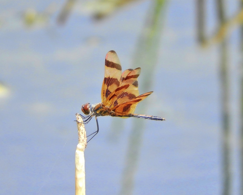 Halloween Pennant Dragonfly photographed in the pond in my backyard.