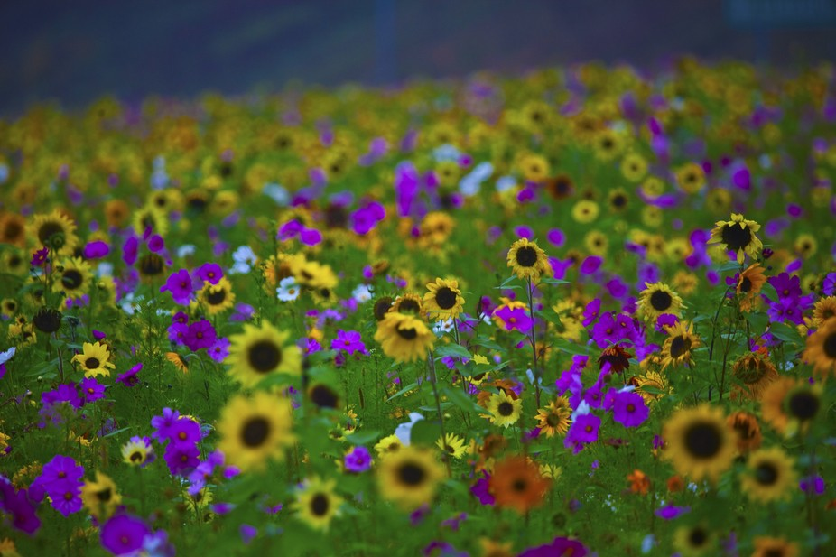 Profusion of wild flowers on the center divider of I-93 in Franconia North, New Hampshire