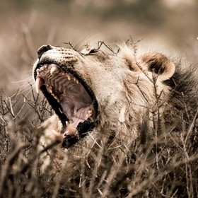 Lion Yawning, Kgalagadi Transfrontier Park, South Africa