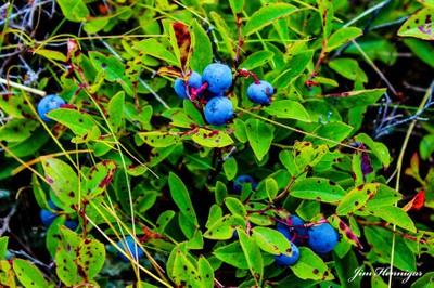 Wild Maine bluberries