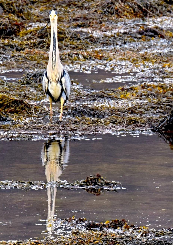 Heron at Eilean Donan